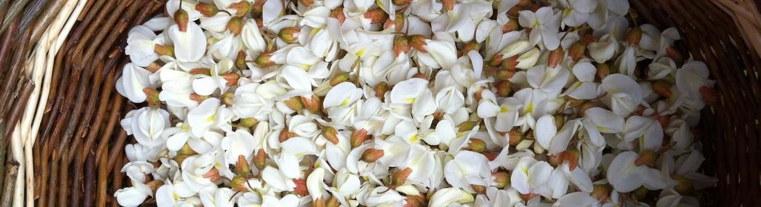 Cueillette de fleurs d'Acacia