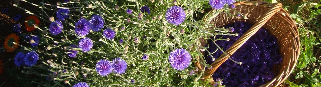 Récolte de fleurs de Bleuets